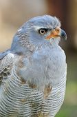 Southern or Pale Chanting Goshawk - Melierax canorus poster
