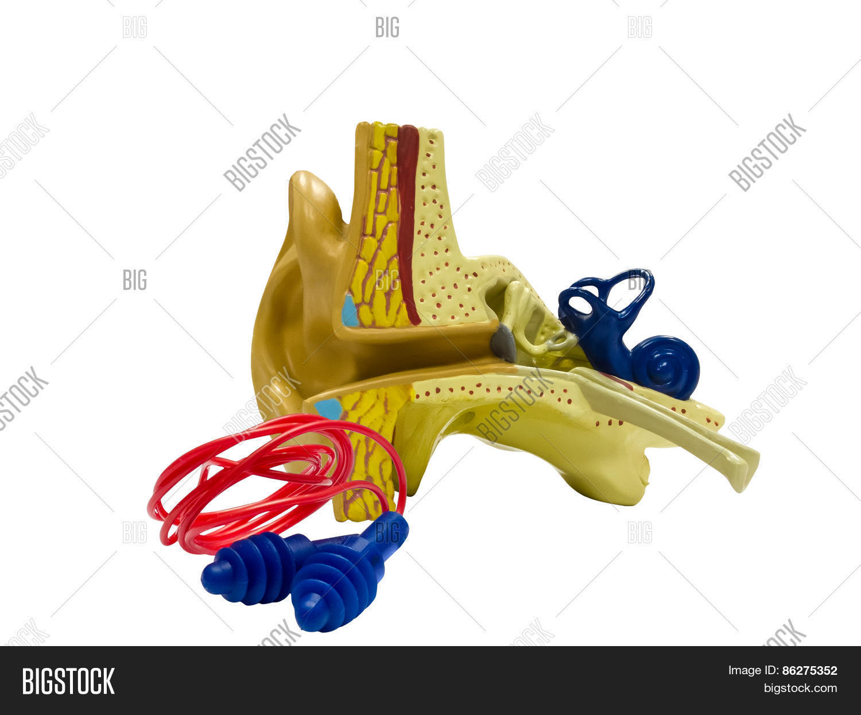Anatomical Model Ear Image & Photo (Free Trial) | Bigstock