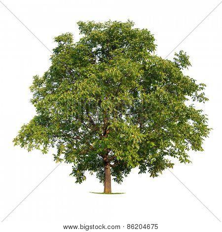 Isolated walnut tree on a white background