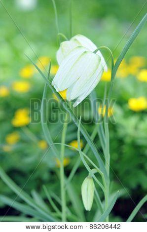 Guinea-hen Flower