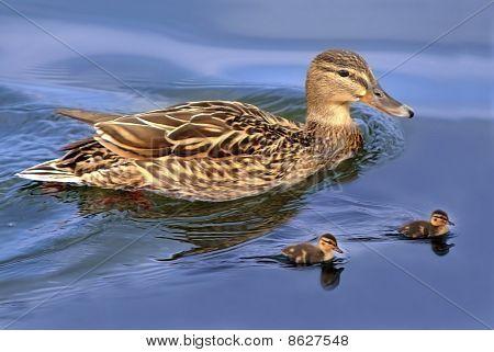 Ducks Family