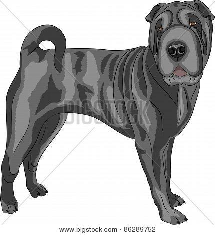 Vector. Shar Pei Dog Breed.
