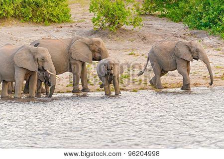 Elephants At The Bank Of Chobe River In Botswana