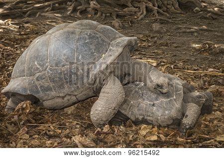 Seychelles Giant Tortoises Mating