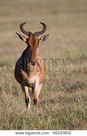 Full size portrait of a Hartebeest