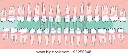 The upper and lower teeth the human jaw poster