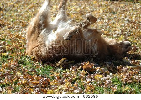 a golden retriever rolls and plays in the newly fallen autumn leaves poster