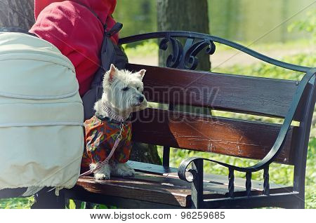 West Highland White Terrier sitting on a bench in the park on a leash dressed in overalls and looks attentively. poster