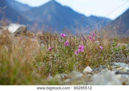 Wild flowers blooming in tundra