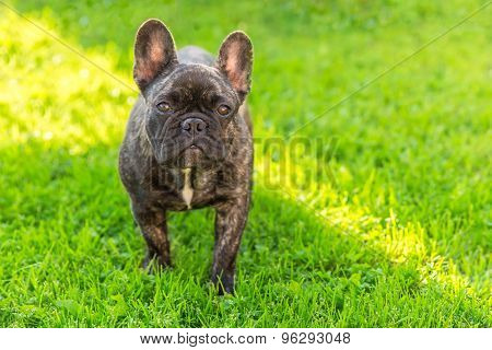 cute domestic dog brindle French Bulldog breed