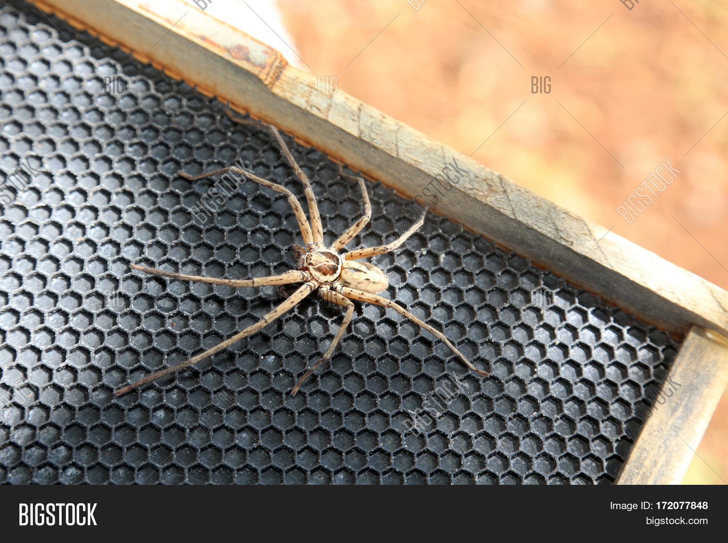 Cane Spider Image Photo Free Trial Bigstock