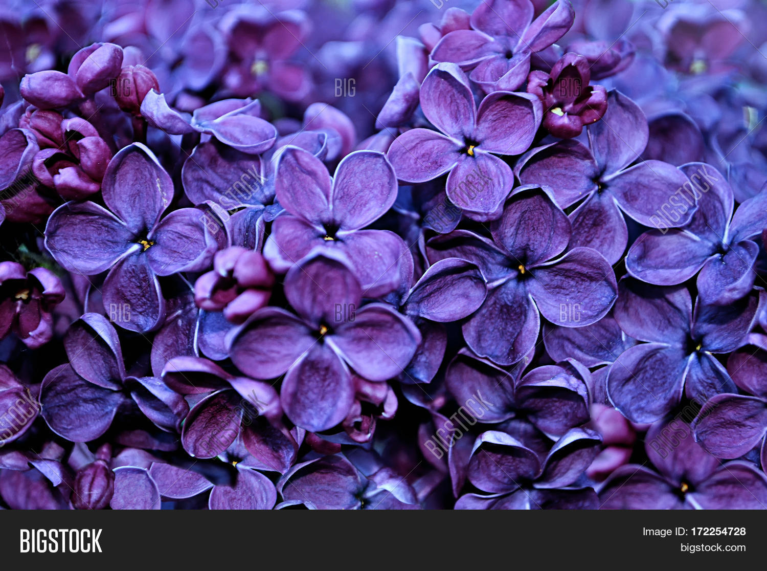 Nature View Lilac Image Photo Free Trial Bigstock