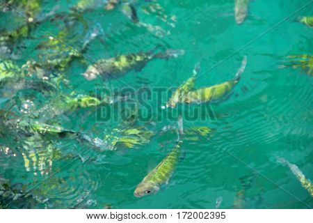 School Of Striped Eel Catfish