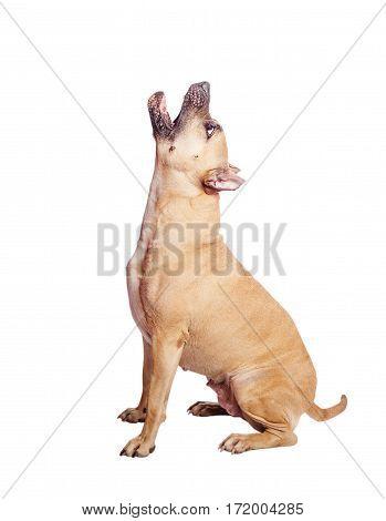 Staffordshire Terrier Howl