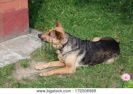 A dog , shepherd waiting for his master
