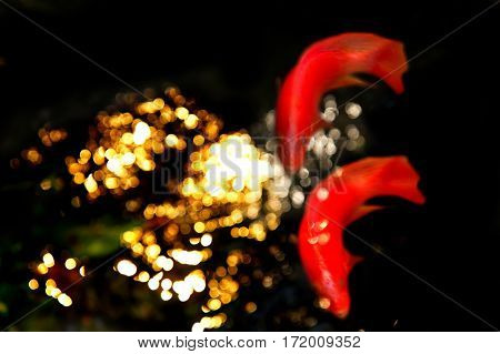 blur two orange fish with bokeh gold light in black dark water background
