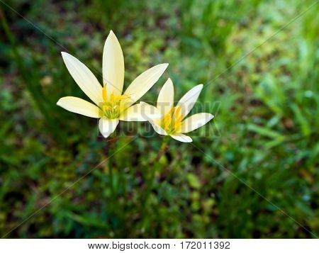 Yellow ground lily flower blooming on greensward in garden