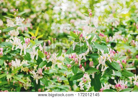 Blooming Honeysuckles (Lonicera Caprifolium). Natural spring background with flowers in sunny day.