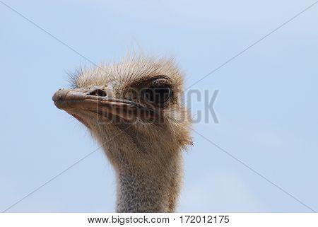 Ostrich face against a blue sky in Aruba.