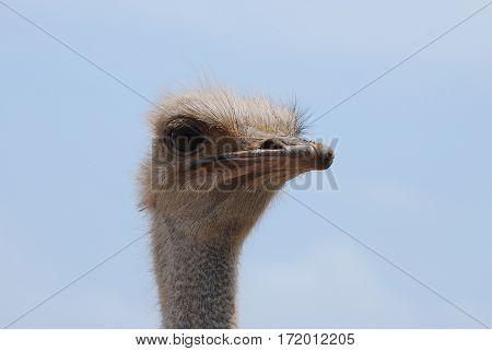 Very stern face on an ostrich at an Ostrich Farm.