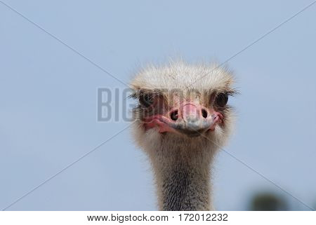 Stern face on an ostrich against a blue sky.