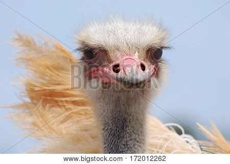 Amazing look at an ostrich with his feathers sticking out.