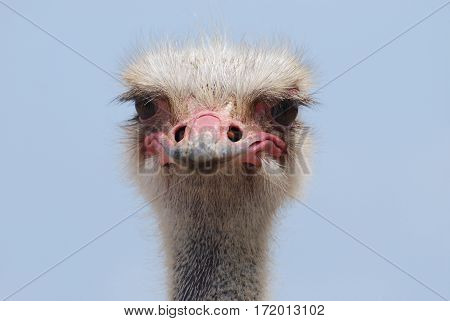 Up close and personal with the face of an ostrich.