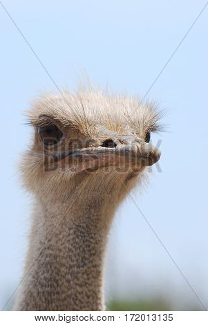 Ostrich with a curious expression with a blue sky.