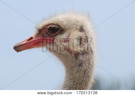 Pink bald spots on the head of an ostrich.