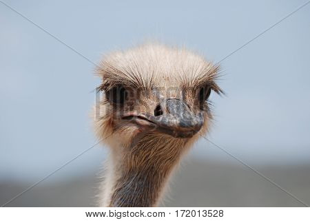An ostrich with his feathers sticking out around his head and neck.