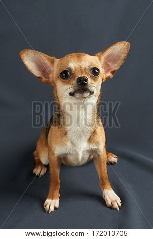 One red puppy of Chihuahua on gray background