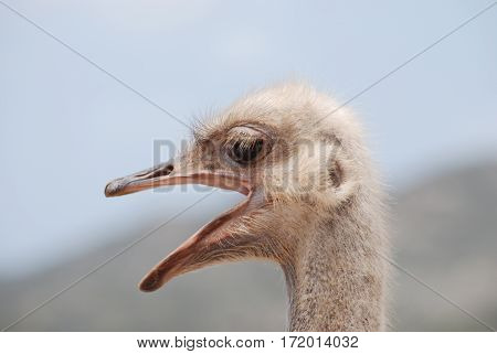 Ostrich with his beak open squawking at an ostrich farm in Aruba.