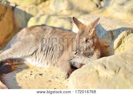 Small kangaroo laying and sleeping in the sun closeup