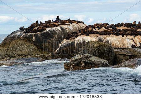 Cape Fur Seals (Arctocephalus pusillus) at Seal Island South Africa
