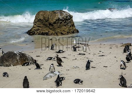 African penguins (Spheniscus demersus) at Boulders Beach South Africa