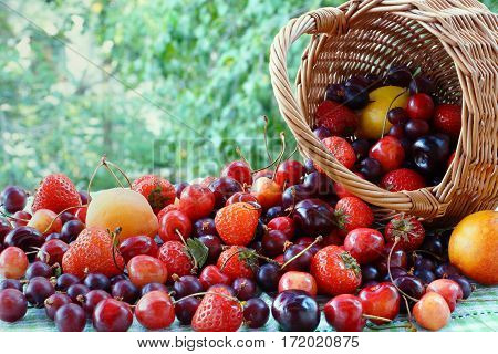 Strawberries, gooseberries, cherries and apricots are next to inverted basket