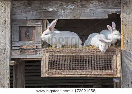 White rabbits looking outside through the cage