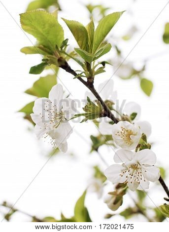 blossoming cherry branch with young leaves white flowers with yellow stamens petals