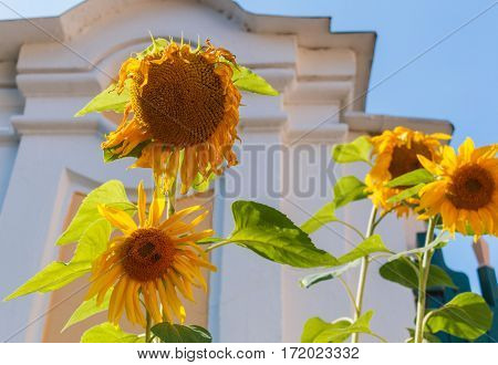 Wilting Sunflowers Against A Blue Sky