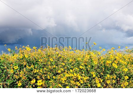 Yellow sunflowers (encelia californica) with storm clouds and rain overhead. Photographed in Carpinteria California.