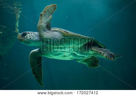 Loggerhead sea turtle (Caretta caretta), also known as the loggerhead.