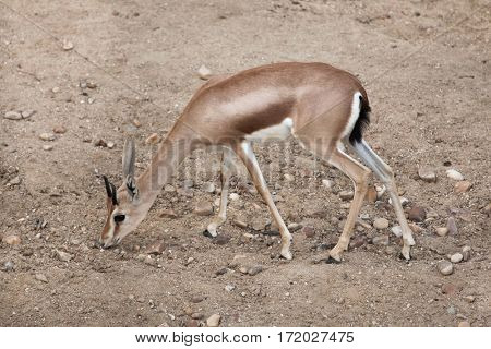 Saharan dorcas gazelle (Gazella dorcas), also known as the Kordofan dorcas.