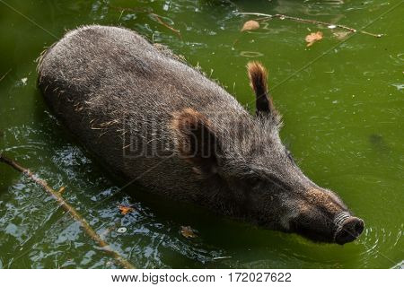 Wild boar (Sus scrofa), also known as the wild swine or Eurasian wild pig.