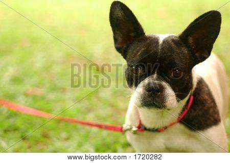 Boston Terrier On Leash