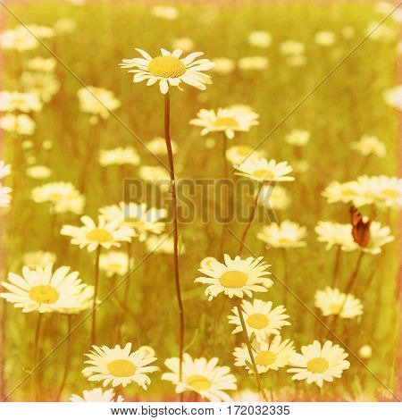 White daises in the field in grunge and retro style.
