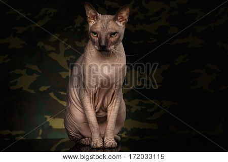 Sphynx Cat Sitting and Looking grumpy on camouflage Background, front view