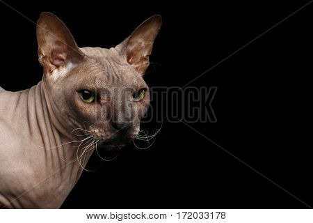 Closeup head of Sphynx Cat Looking side on Isolated Black Background