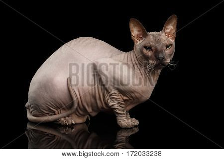 Sphynx Cat Sitting and Looking side on Isolated Black Background