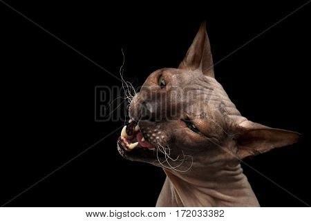 Closeup portrait of Sphynx Cat stretches with opened mouth want bite on Isolated Black Background