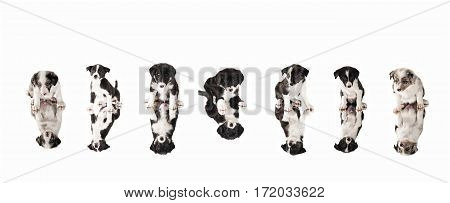 Seven Border Collie puppies sitting on a mirror.